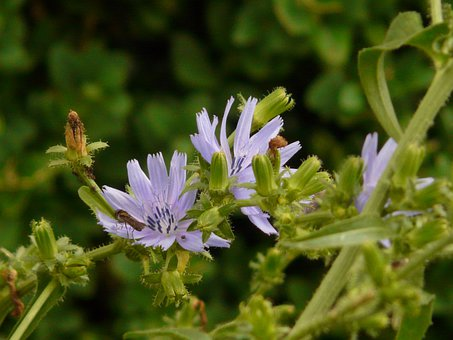 Common Chicory, Ordinary Chicory, Cichorium Intybus