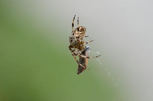 Aranaeus, Spider, Arachnid, Feeding, Fauna, Cobwed