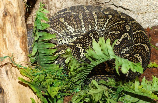 Snake, Carpet Python, Constrictor, Australia, Scale
