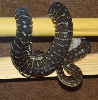 Snake, Python, Carpet Python, Constrictor, Reptile