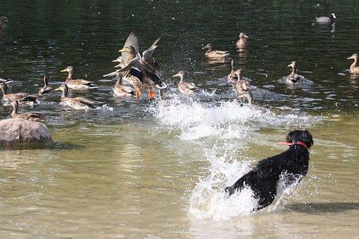 Ducks, Pond, Park, Dog, Jogging, Escape, Fly Out, Fun