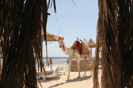 Dromedary, Camel, Egypt, Höcker Sea
