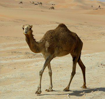 Dromedary, Desert Ship, Sand, Drought