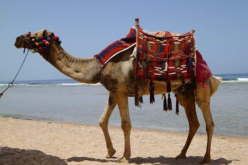 Camel, Animal, Desert, Dromedary, Egypt, Desert Ship