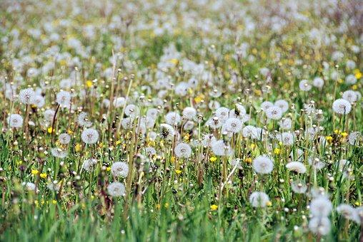 Dandelion, Spring, Field, Flowers, Green, Sunny