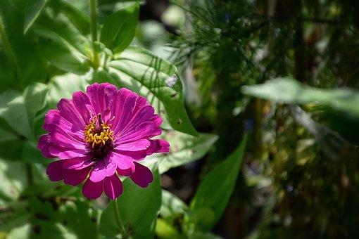Beauty, Puccinia, Flower, Garden, Summer, Lila, Plant