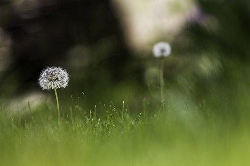 Taraxacum, Dandelions, Green, Meadow, Flower, Flora