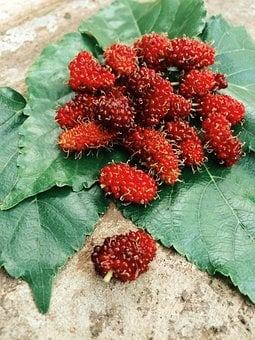 Fruit, Leaf, Mulberries, Mulberry
