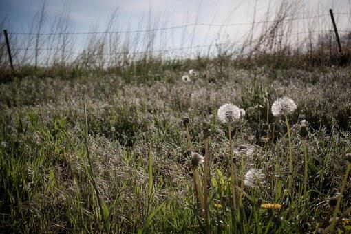 Dandelion, Field, Growth, Growing, Barbed Wire, Nature