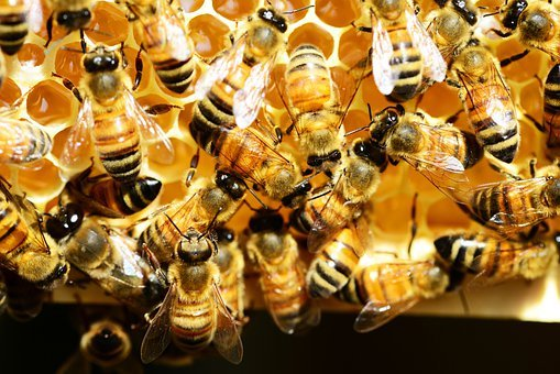 Honey Bees, Honey Comb, Bees, Insects, Golden Nectar