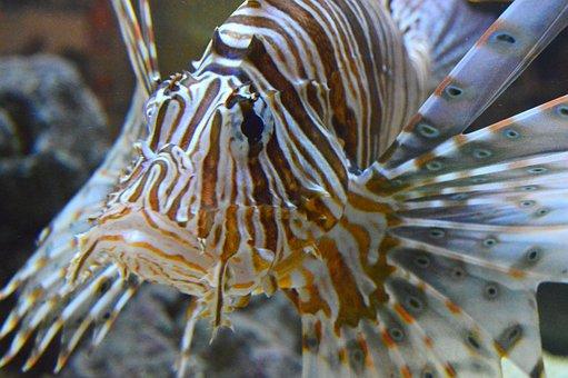 Pterois, Lionfish, Lion, Fish, Ocean, Marine, Tropical