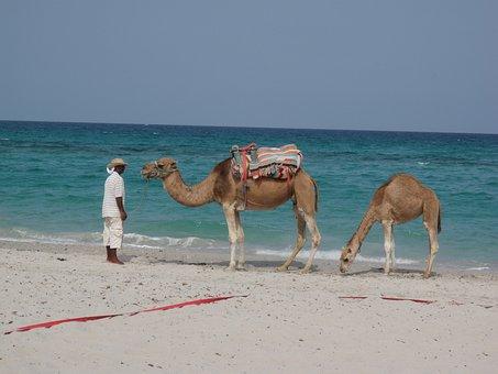 Dromedary, Mahdia, Tunisia, Beach, Sea, Sky