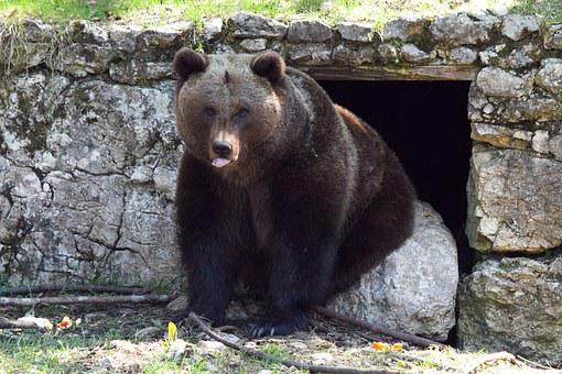 Brown Bear, Bear, Animal, Forest, Grizzly, Mammal