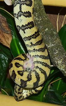 Snake, Carpet Python, Wild Animal, Animal World, Nature