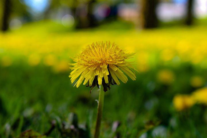 Dandelion, Field, Flowers, Meadow, Nature, Happy