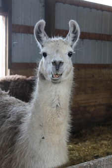 Llama, Farm, Pen, Mammal, Animal, Nature, Alpaca, Fur
