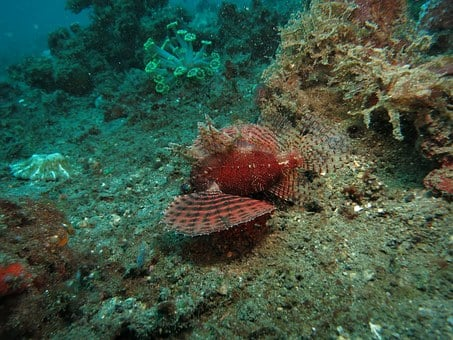 Lionfish, Diving, Scuba, Marine, Underwater, Sea, Ocean