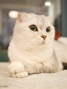 Scottish Fold Cats, Cat, Pets, Animal
