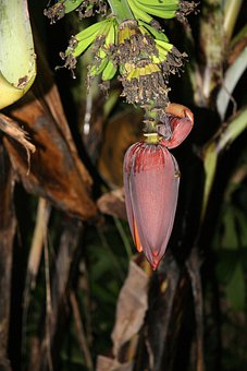 Costa Rica, Wild, Bananas, Fruit, Juicy, Food, Ripe