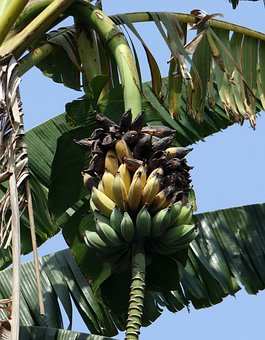 Wild Banana, Musa Acuminata, Ripe, Rotten, Unharvested