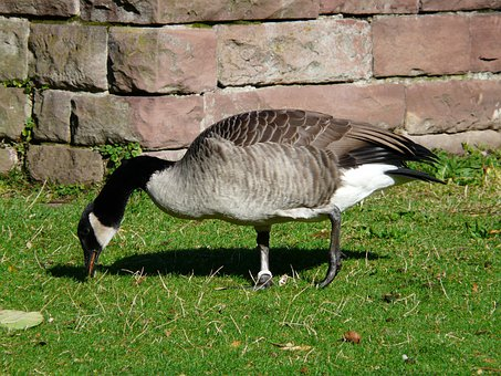 Canada Goose, Branta Canadensis, Goose, Rush