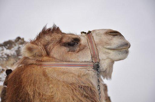 Camel, Animal, Mammal, Desert, Safari, Travel, Africa