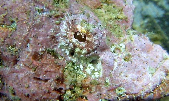 Scorpionfish, Macro, Sea, Marine, Underwater, Animal