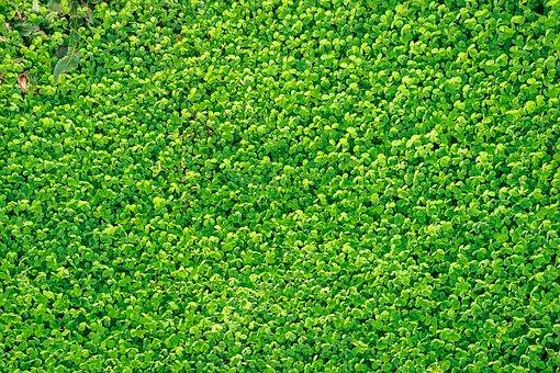 Shamrock, Clover, Grass, Spring, Nature, Gregarious