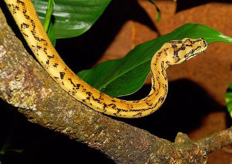 Python, Snake, Carpet Python, Constrictor, Reptile