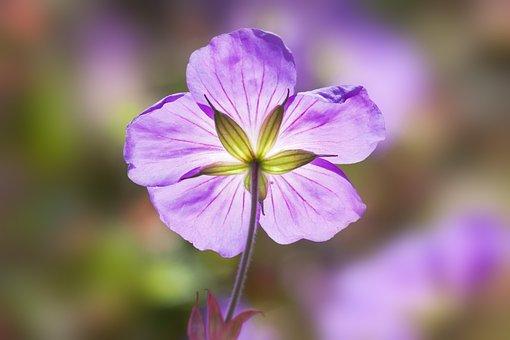 Folder-snowdrops, Galanthus Plicatus, Violet, Flowers