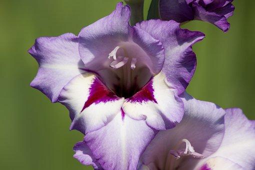 Gladiolus, Sword Flower, Iridaceae, Violet, Red, White