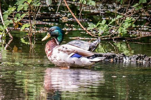 Duck, Turtle, Mallard, Water Turtle, Pond, Water, Swim