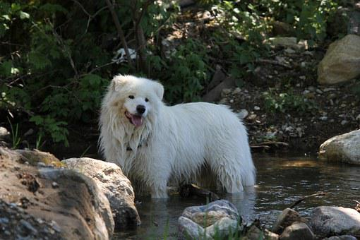 Dog, Samoyed, White, In The River, Outdoores