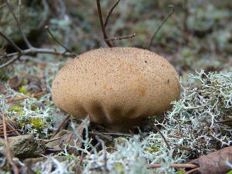 Mushroom, Moss, Lycoperdon Perlatum, Wolf Fart