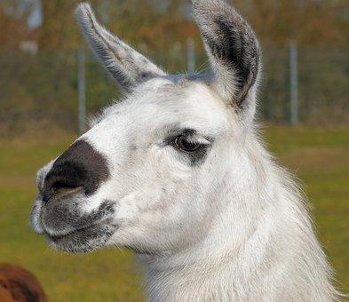 Lama, Pet, Spit, Stubborn, Wool, Fur, Livestock, White