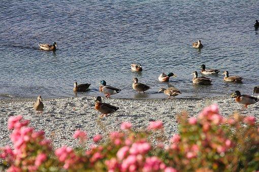 Duck, Scenics, Amazing, Beautiful, Mountain, Sea, Blue