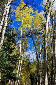 Aspen, Colorado Mountains, Quaking, Scenic, Landscape