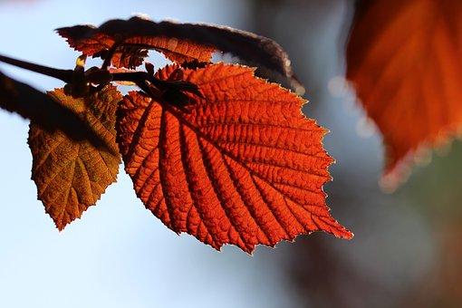Leaf, Hazelnut, Back Light, Walnut Hazel Leaf