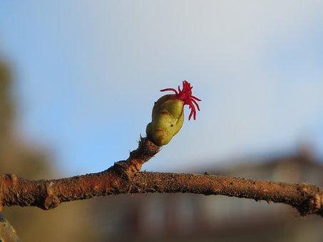 Corylus Avellana, Common Hazel, Macro, Bud, Blossom