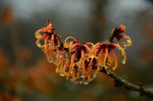 Witch Hazel, Bush, Drip, Flowers, Branch