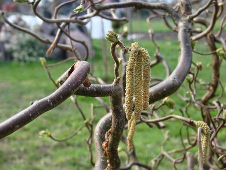 Bush, Garden, Hazel, Corylus Avellana Contorta