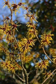 Witch Hazel, Bush, Flowers, Ornamental Plant