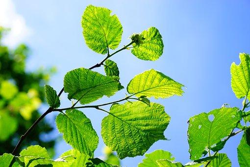 Bush, Hazelnut, Leaves, Hazel