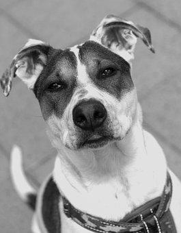 Dog, Puppy, Pup, Canine, Bull Arab, Pet, Animal, Doggy
