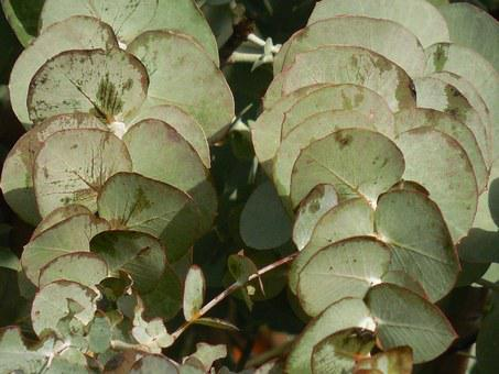 Eucalyptus, Leaves, Tree, Branch, Green, Leaf, Plant