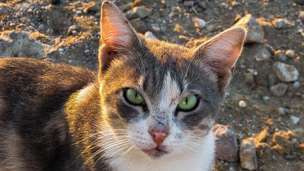 Cat, Stray, Staring, Curious, Animal, Eyes, Tough