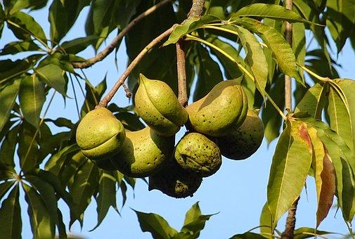 Fruit, Seed Pod, Sterculia Foetida, Bastard Poon Tree