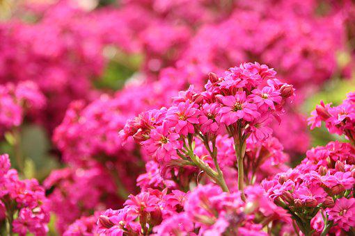 Flowers, Flower, Rosa, Nature, Garden, Flowery Hazel
