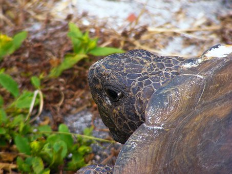Gopher Tortoise, Gopherus Polyphemus, Turtle, Slow