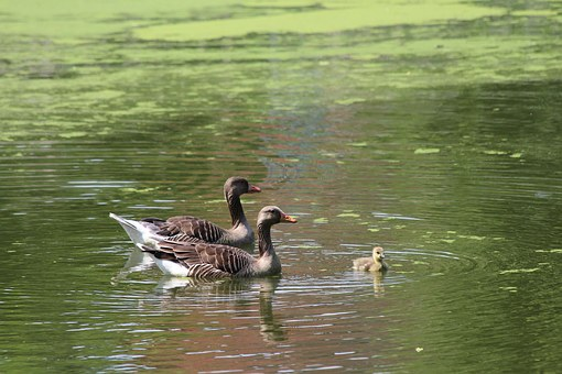 Goose, Greylag Goose, Anser Anser, Geese